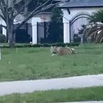 Tiger on loose in Houston for nearly a week moved to animal sanctuary