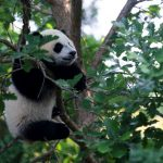 'Little Miracle' panda cub makes public debut as National Zoo reopens